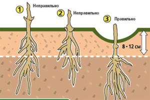 На фото - как правильно посадить клематис весной, vashe-plodorodie.ru