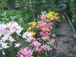 На фото - Лилии в саду, mysad34.ru
