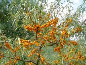 На фото - дерево облепихи, domowik.net