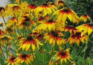 Огромное разнообразие цветов или что посадить на клумбе? фото