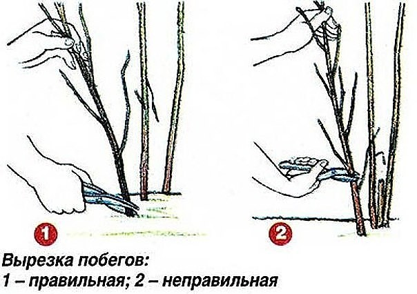 Правильная и неправильная вырезка побегов малины