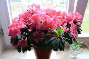На фото - цветы камелия уход, liveinternet.ru