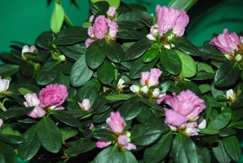 Комнатные цветы камелия с