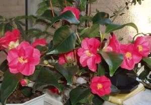 Фото цветущей камелии, thebesstflowers.ru