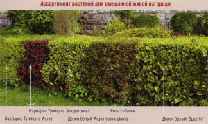 На фото - лучшие кустарники для живой изгороди, drevo-spas.ru