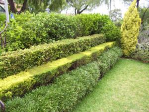 На фото - декоративные кустарники для живой изгороди, homester.com.ua