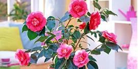 Комнатный цветок камелия – уход для быстрого роста!