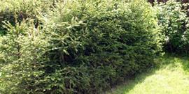 Низкорослые кустарники для живой изгороди