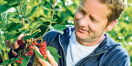 Обработка смородины весной – как уберечь куст от вредителей?