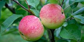 Обрезка яблонь весной – прореживаем ветви и получаем вкусные плоды!