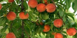 Обработка персика весной – первоочередные меры против вредителей!