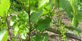 Опрыскивание винограда весной – реальная борьба с инфекцией!