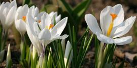 Посадка крокусов весной – украшаем сад яркими красками!