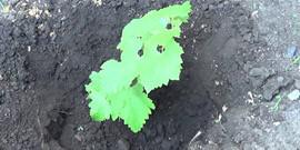 Как сажать черенки винограда весной – способы для новичков!