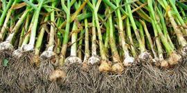 Посадка озимого и ярового чеснока весной – секреты огородников