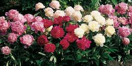 Посадка пионов весной или как создать волшебную клумбу из цветов?