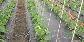Выращивание огурцов в теплице – подготовка и высадка рассады