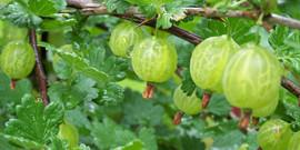Уход за крыжовником весной или как получить 15 кг ягод с куста?