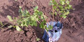 Посадка винограда весной – подготовим черенки и саженцы вместе!