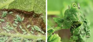 Обработка смородины весной от вредителей фото