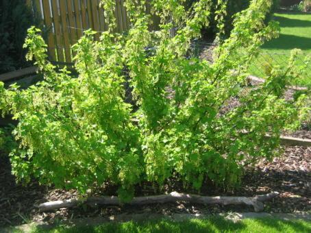 поливать кипятком кусты от вредителей весной