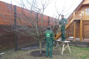 На фото - правильная обрезка деревьев, soweren.ru
