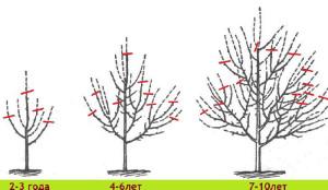 На фото - схема обрезки яблонь весной, liveinternet.ru