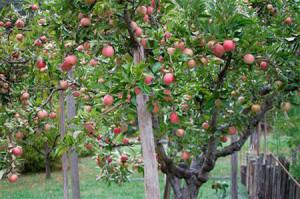 Фото старой яблони после обрезки, ssadovodam.ru