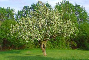 Фото яблони в саду, krupnomery.ru