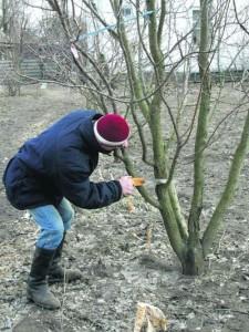 Обрезка деревьев осенью – расставляем точки