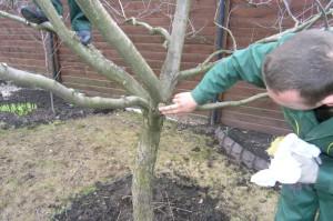 Осенняя обрезка деревьев – тонкости проведения