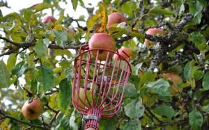 Когда срывать плоды – готовим дерево к зиме!