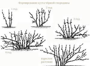 На фото - формирование куста черной смородины, suncluster.ru