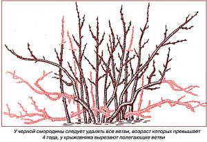На фото - обрезка смородины весной, rus-bazar.com