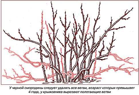 Схемы посадки красной смородины
