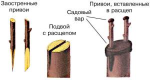 На фото - прививка персика весной, uafs.com.ua