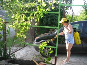 На фото - обработка винограда весной , zaika.in.ua