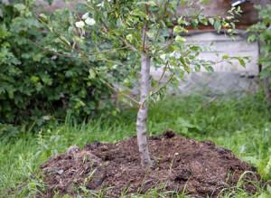 Пересадка яблони весной – как сделать все правильно?