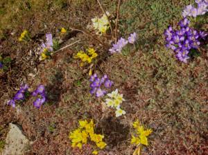 Как сажать крокусы – весной выбираем проталины!
