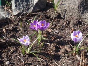 Как сажать крокусы – весной выбираем проталины! фото