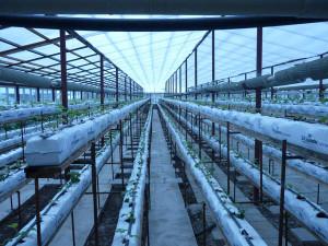 На фото - выращивание клубники в теплице, tsvetnik.info