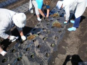 Фото посадки клубники в специальную грядку, sadoved.com