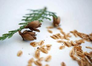На фото - семена туи для посадки, leo-dikiy.livejournal.com