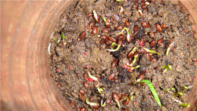 Вырастить тую из семян в домашних условиях видео