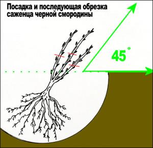 Фото правильной посадки черной смородины весной, agro-sektor.ru
