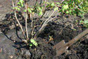 На фото - пересадка смородины весной, sad-vinograd.net