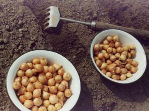 Посадка лука-севка весной – что такое севок?