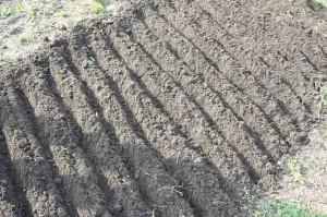Посадка лука-севка весной – что такое севок? фото
