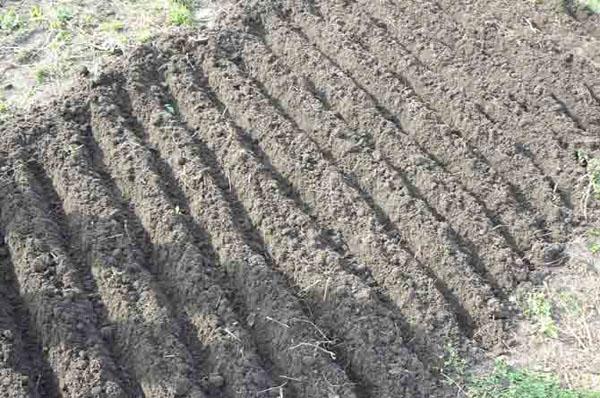 Что такое лук севок