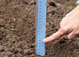 Нужно ли готовить луковицы – чего боятся огородники?
